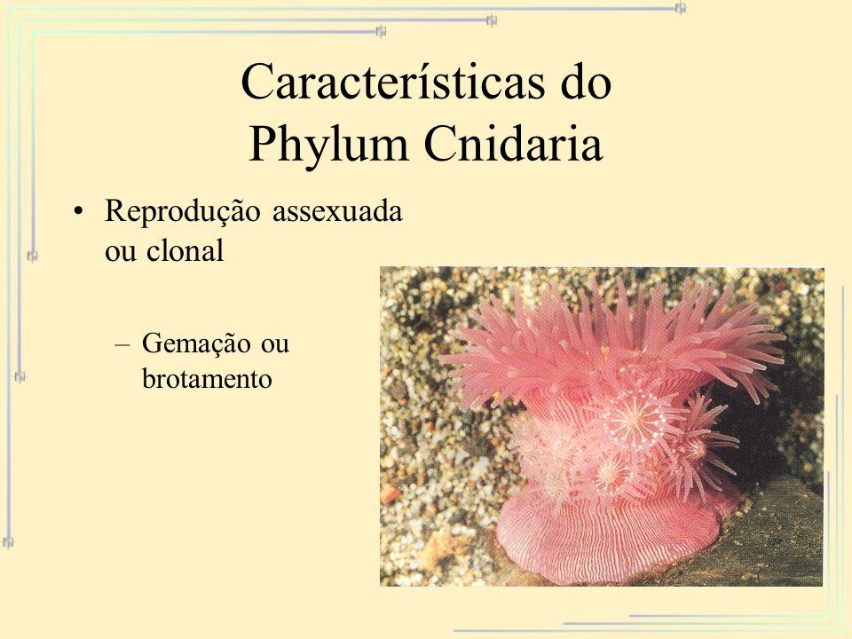 Características do Phylum Cnidaria