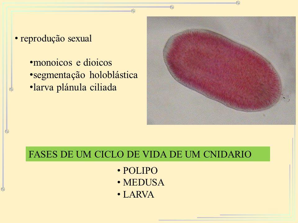 segmentação holoblástica larva plánula ciliada