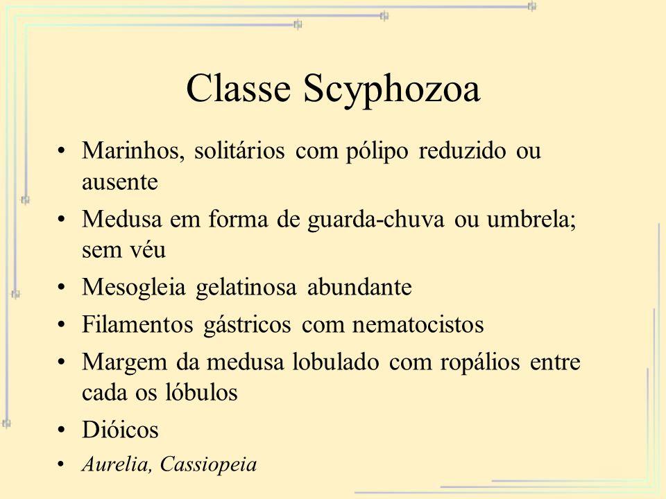 Classe Scyphozoa Marinhos, solitários com pólipo reduzido ou ausente