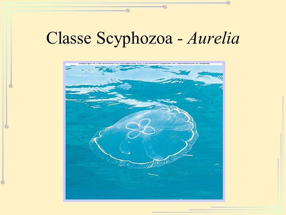 Classe Scyphozoa - Aurelia
