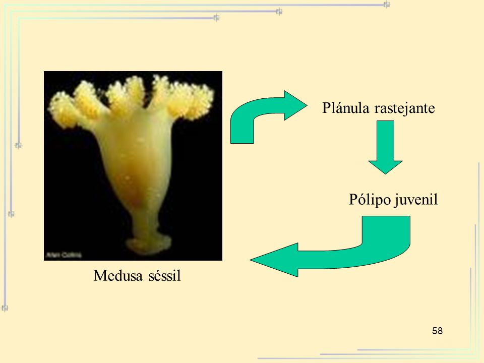 Plánula rastejante Pólipo juvenil Medusa séssil