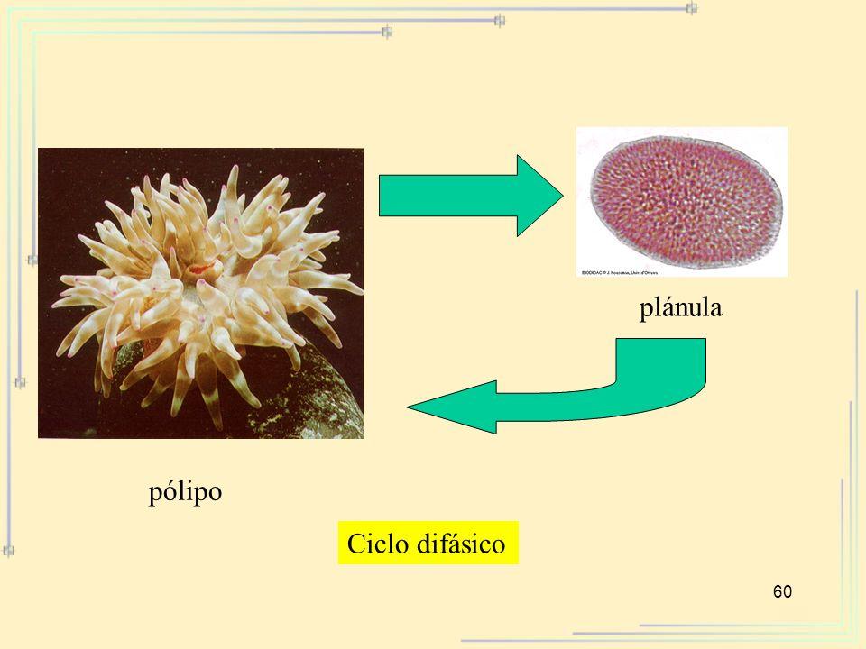 plánula pólipo Ciclo difásico
