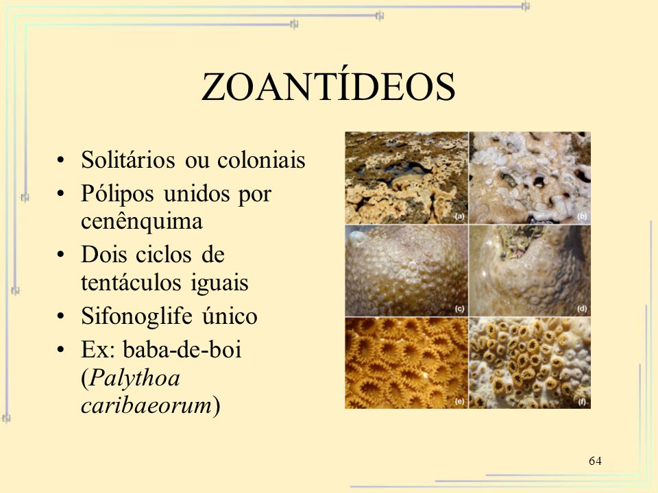 ZOANTÍDEOS Solitários ou coloniais Pólipos unidos por cenênquima