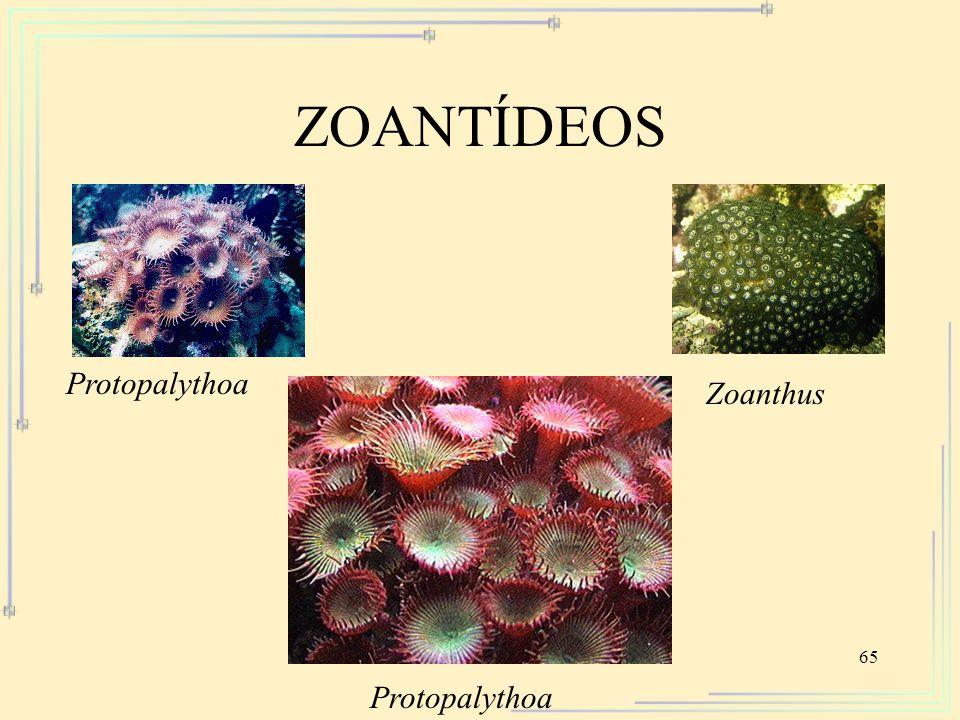 ZOANTÍDEOS Protopalythoa Zoanthus Protopalythoa