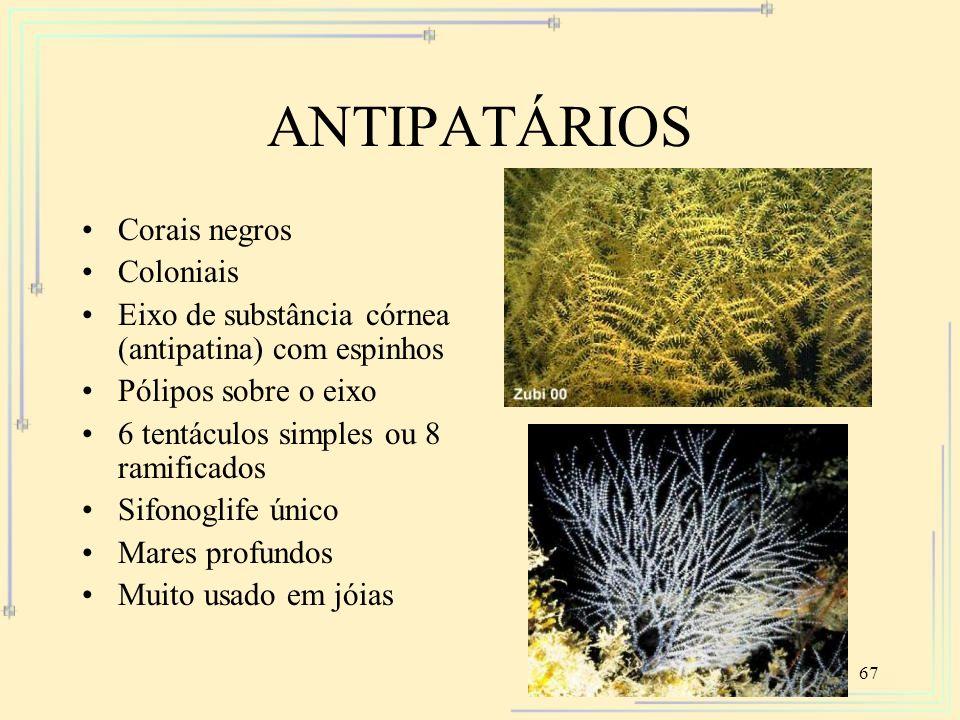 ANTIPATÁRIOS Corais negros Coloniais
