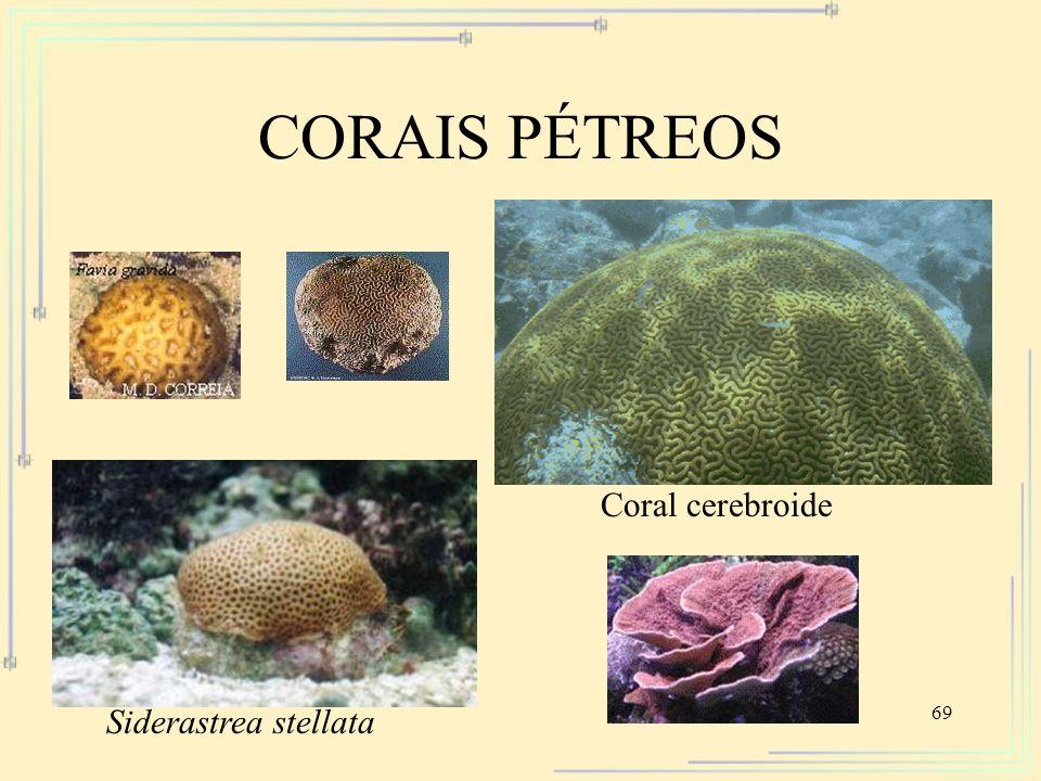 CORAIS PÉTREOS Coral cerebroide Siderastrea stellata