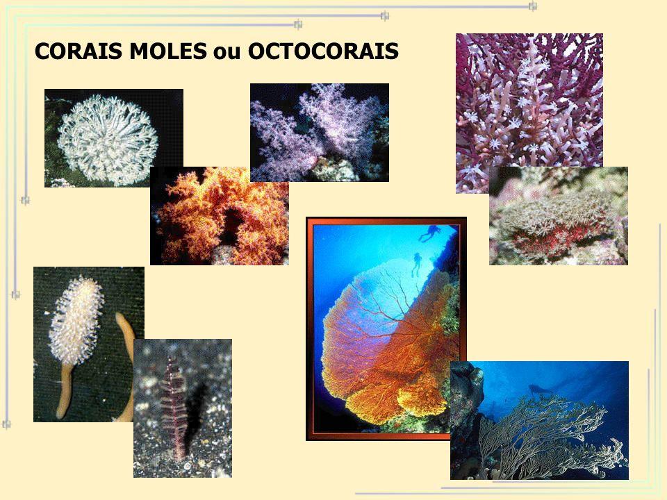 CORAIS MOLES ou OCTOCORAIS