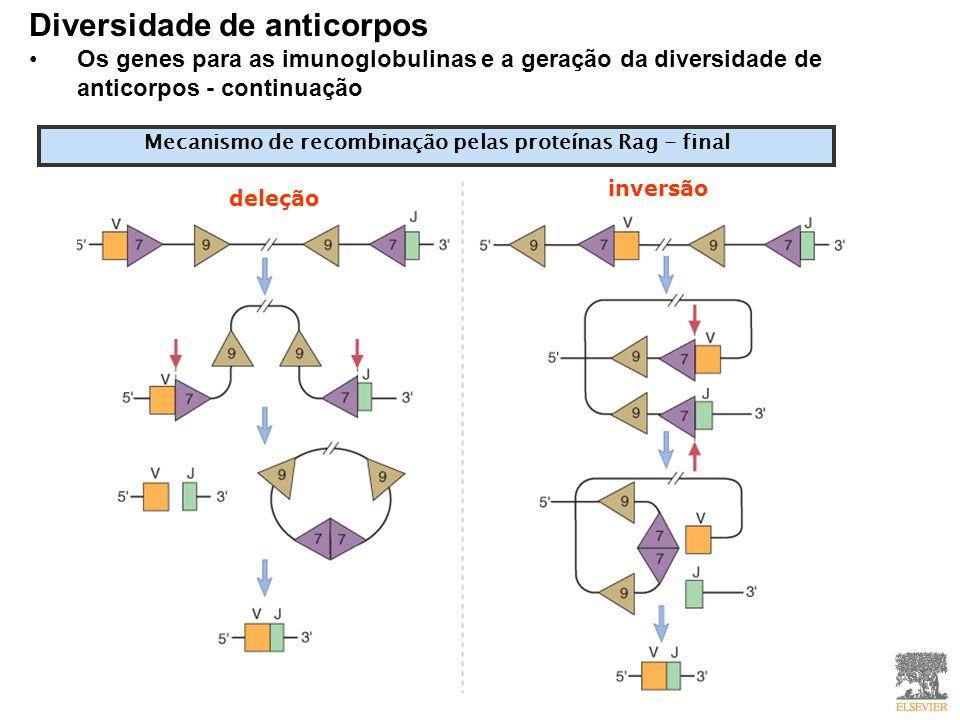 Mecanismo de recombinação pelas proteínas Rag - final