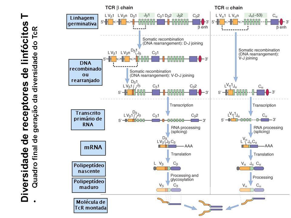 Diversidade de receptores de linfócitos T