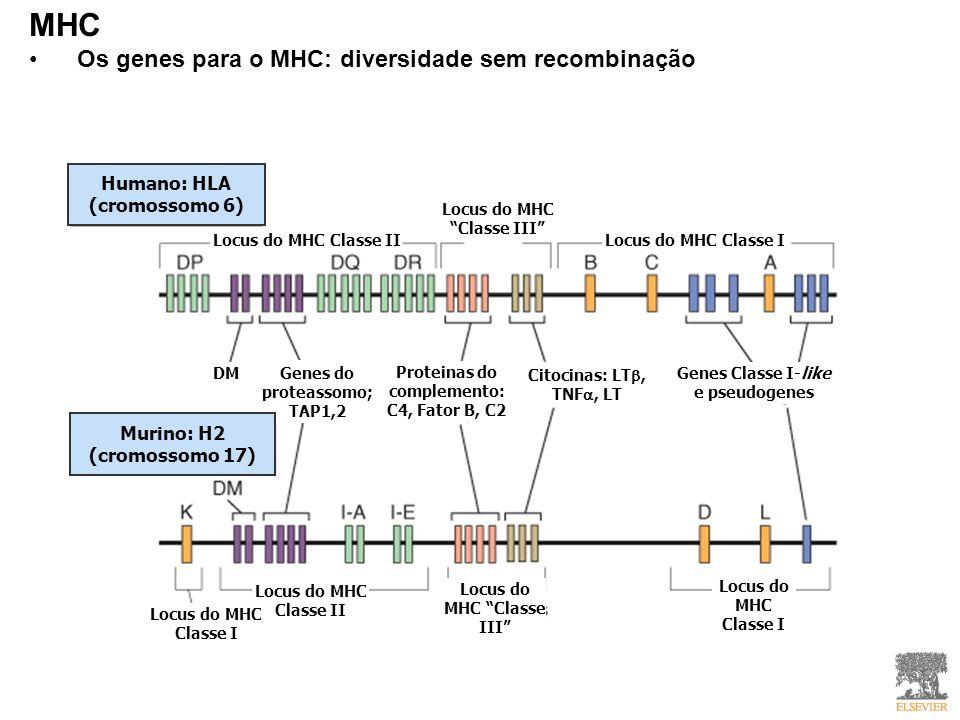 MHC Os genes para o MHC: diversidade sem recombinação Humano: HLA