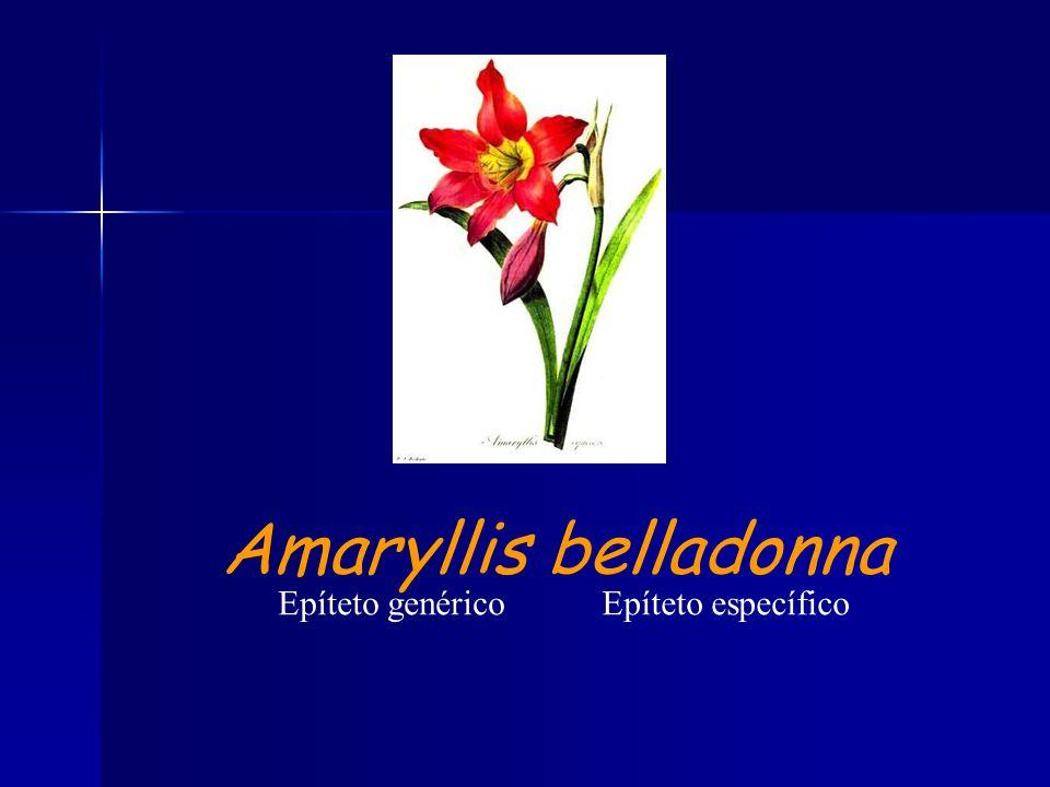 Amaryllis belladonna Epíteto genérico Epíteto específico