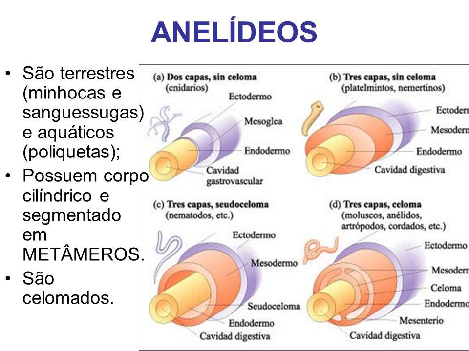 ANELÍDEOS São terrestres (minhocas e sanguessugas) e aquáticos (poliquetas); Possuem corpo cilíndrico e segmentado em METÂMEROS.