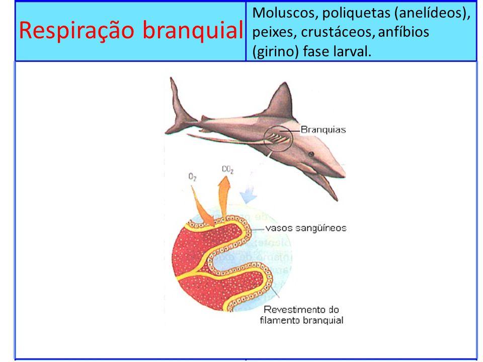 Moluscos, poliquetas (anelídeos), peixes, crustáceos, anfíbios (girino) fase larval.