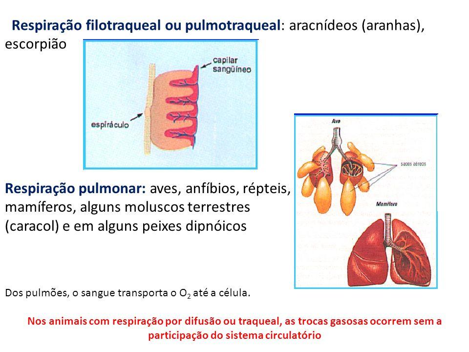 Respiração filotraqueal ou pulmotraqueal: aracnídeos (aranhas), escorpião