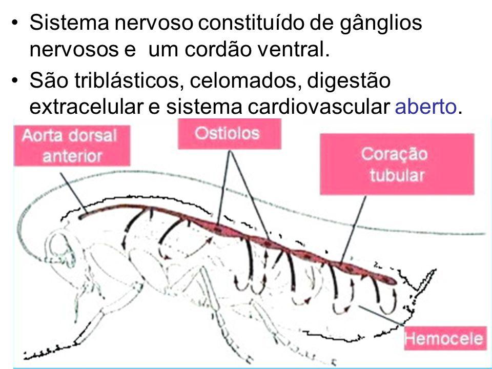 Sistema nervoso constituído de gânglios nervosos e um cordão ventral.