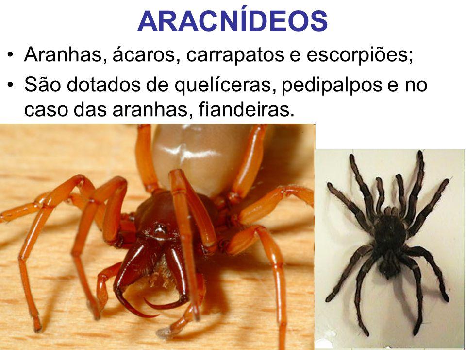 ARACNÍDEOS Aranhas, ácaros, carrapatos e escorpiões;