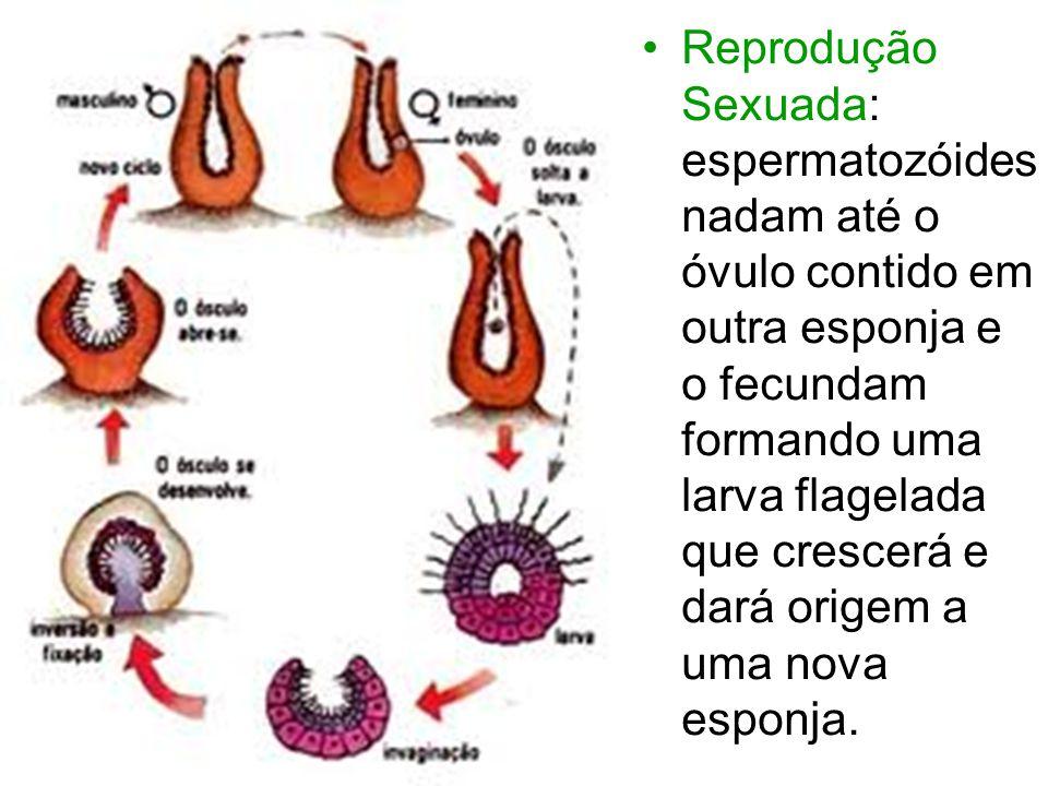 Reprodução Sexuada: espermatozóides nadam até o óvulo contido em outra esponja e o fecundam formando uma larva flagelada que crescerá e dará origem a uma nova esponja.