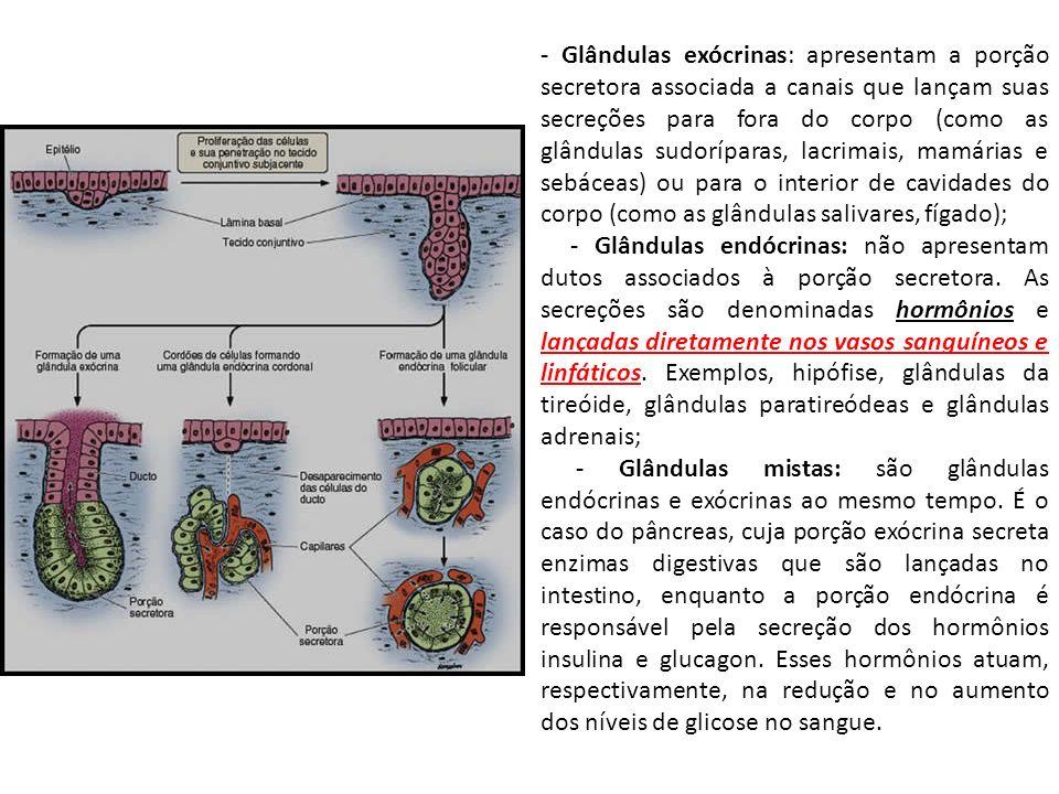 - Glândulas exócrinas: apresentam a porção secretora associada a canais que lançam suas secreções para fora do corpo (como as glândulas sudoríparas, lacrimais, mamárias e sebáceas) ou para o interior de cavidades do corpo (como as glândulas salivares, fígado);