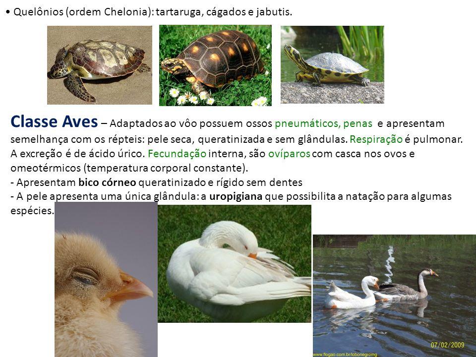 Quelônios (ordem Chelonia): tartaruga, cágados e jabutis.