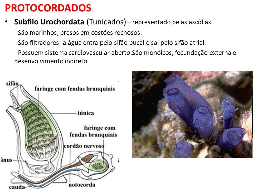 PROTOCORDADOS Subfilo Urochordata (Tunicados) – representado pelas ascídias. - São marinhos, presos em costões rochosos.