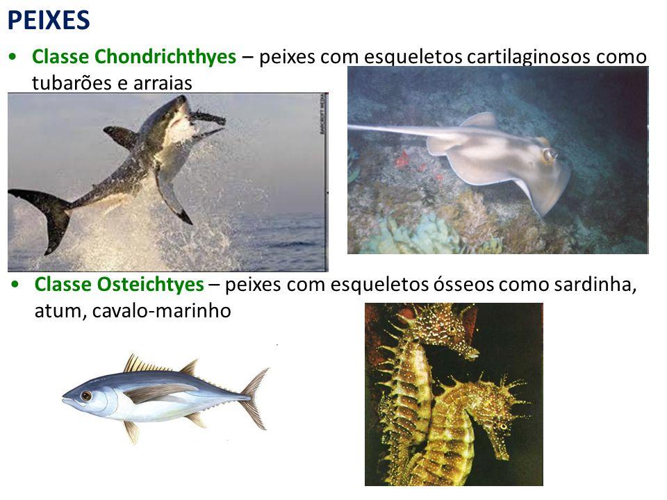 PEIXES Classe Chondrichthyes – peixes com esqueletos cartilaginosos como tubarões e arraias.