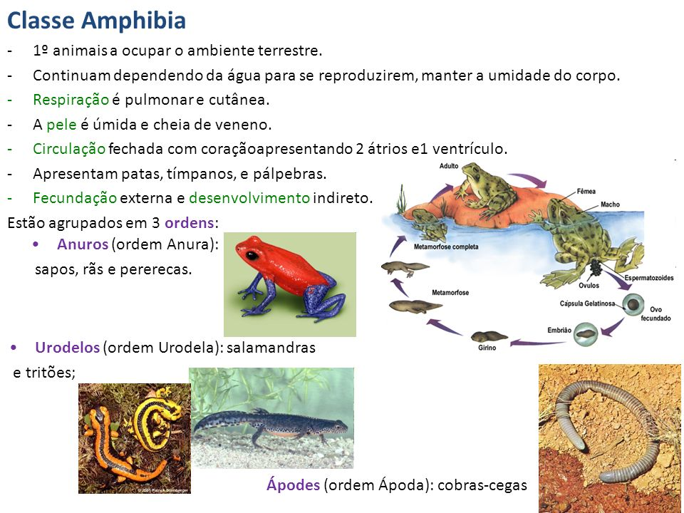Classe Amphibia 1º animais a ocupar o ambiente terrestre.