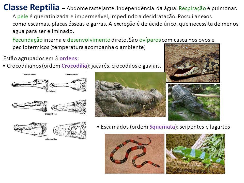 Classe Reptilia – Abdome rastejante. Independência da água
