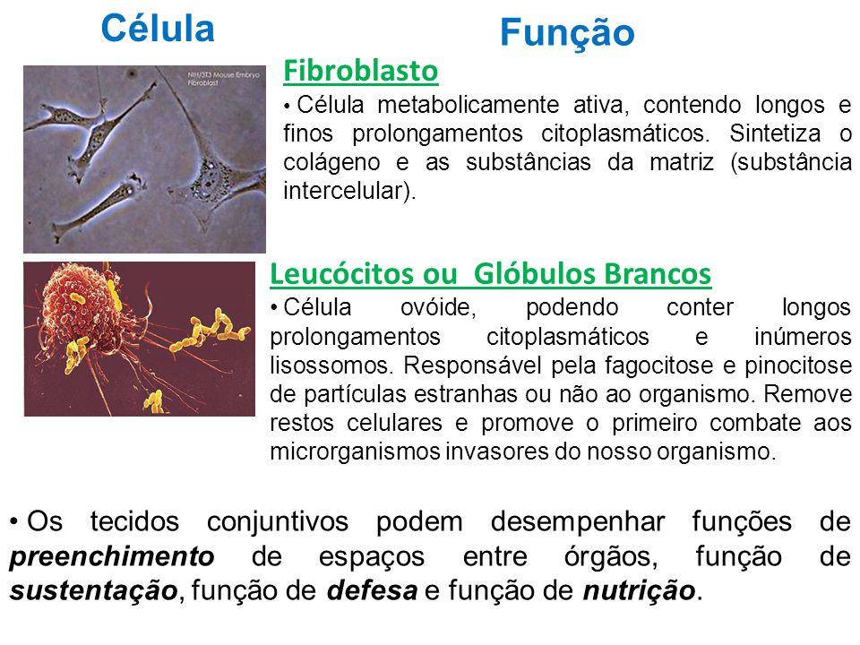 Célula Função Fibroblasto Leucócitos ou Glóbulos Brancos