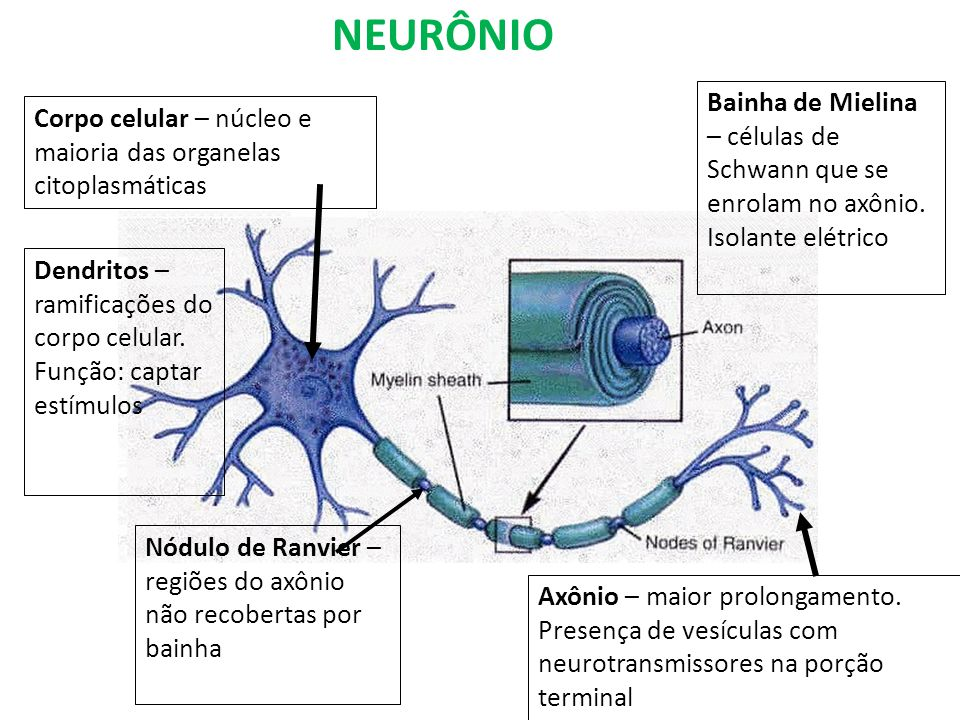 NEURÔNIOBainha de Mielina – células de Schwann que se enrolam no axônio. Isolante elétrico.