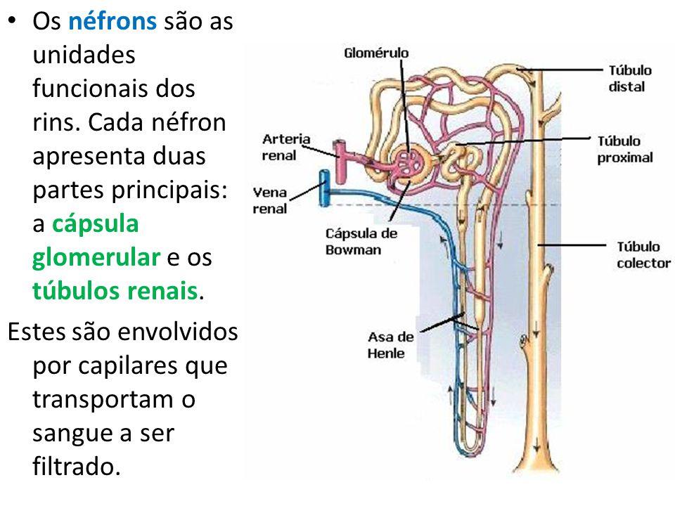 Os néfrons são as unidades funcionais dos rins