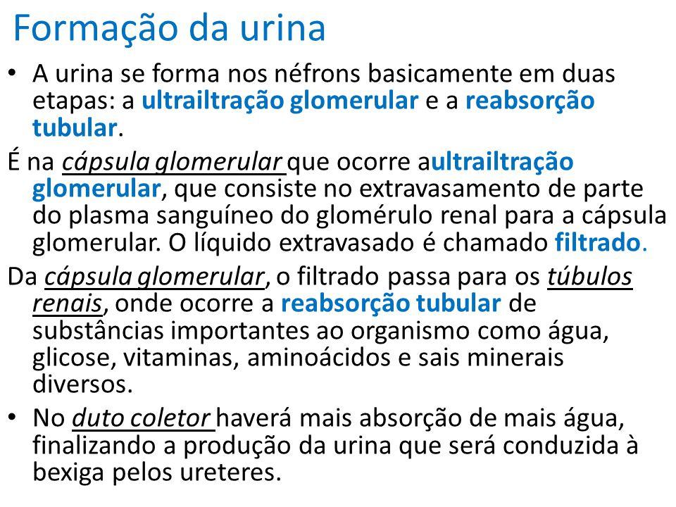 Formação da urina A urina se forma nos néfrons basicamente em duas etapas: a ultrailtração glomerular e a reabsorção tubular.
