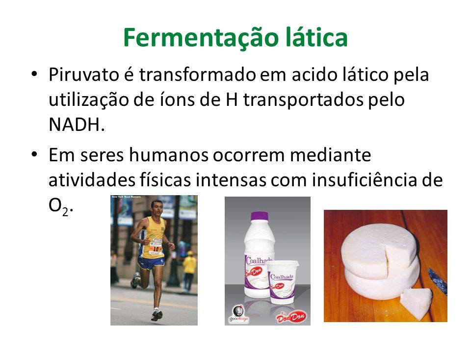Fermentação lática Piruvato é transformado em acido lático pela utilização de íons de H transportados pelo NADH.