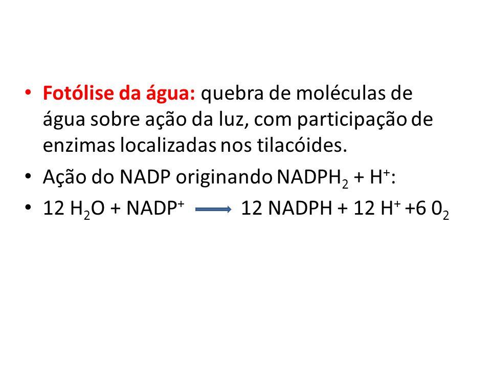 Fotólise da água: quebra de moléculas de água sobre ação da luz, com participação de enzimas localizadas nos tilacóides.