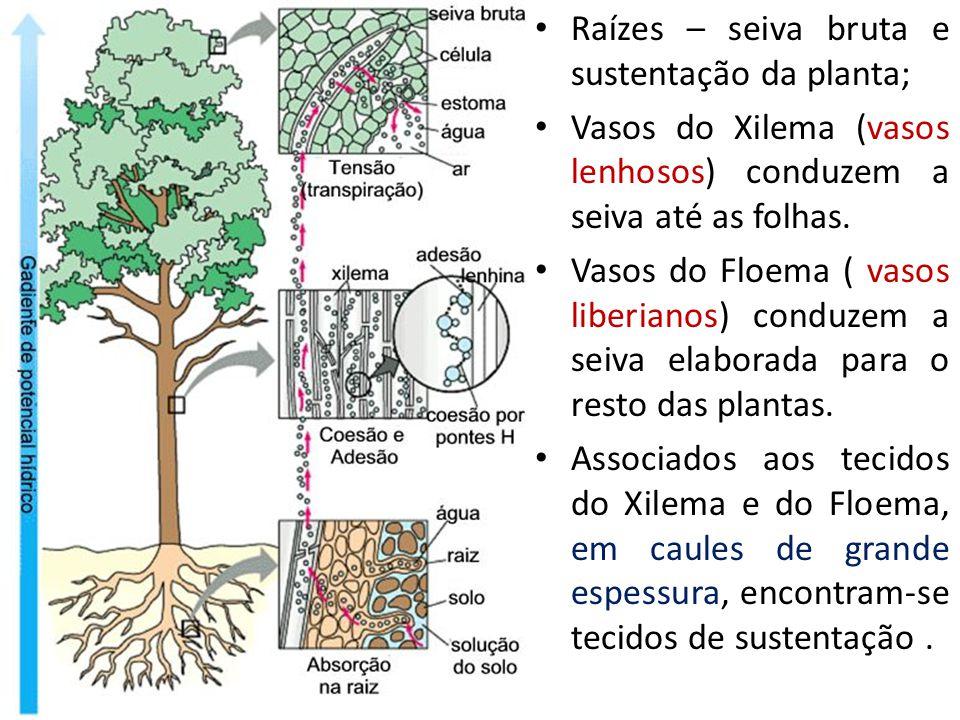Raízes – seiva bruta e sustentação da planta;