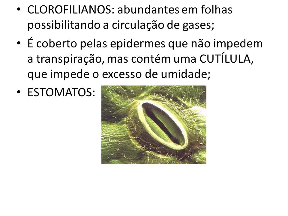 CLOROFILIANOS: abundantes em folhas possibilitando a circulação de gases;