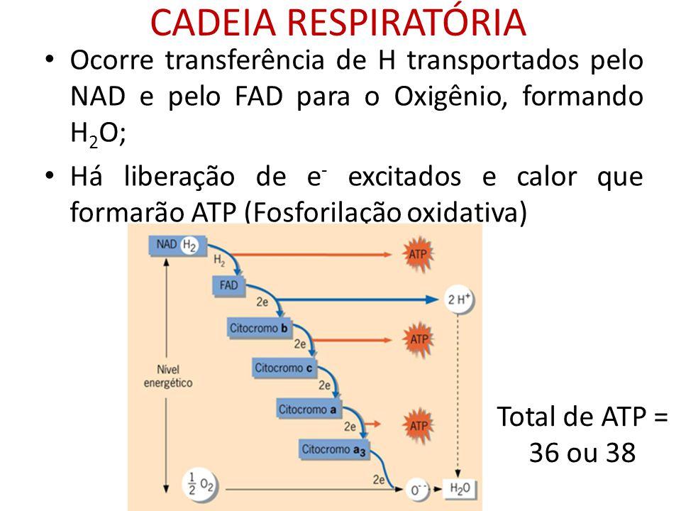 CADEIA RESPIRATÓRIA Ocorre transferência de H transportados pelo NAD e pelo FAD para o Oxigênio, formando H2O;