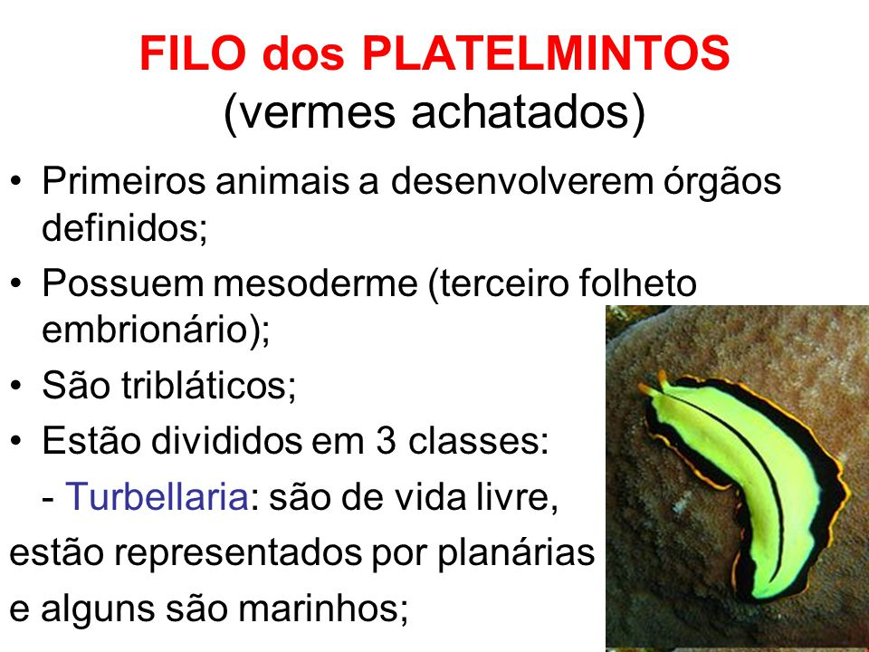 FILO dos PLATELMINTOS (vermes achatados)