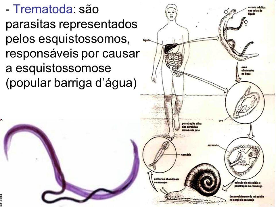 - Trematoda: são parasitas representados pelos esquistossomos, responsáveis por causar a esquistossomose (popular barriga d'água)
