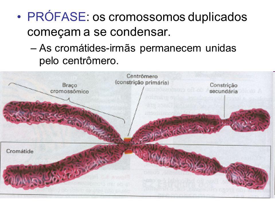 PRÓFASE: os cromossomos duplicados começam a se condensar.