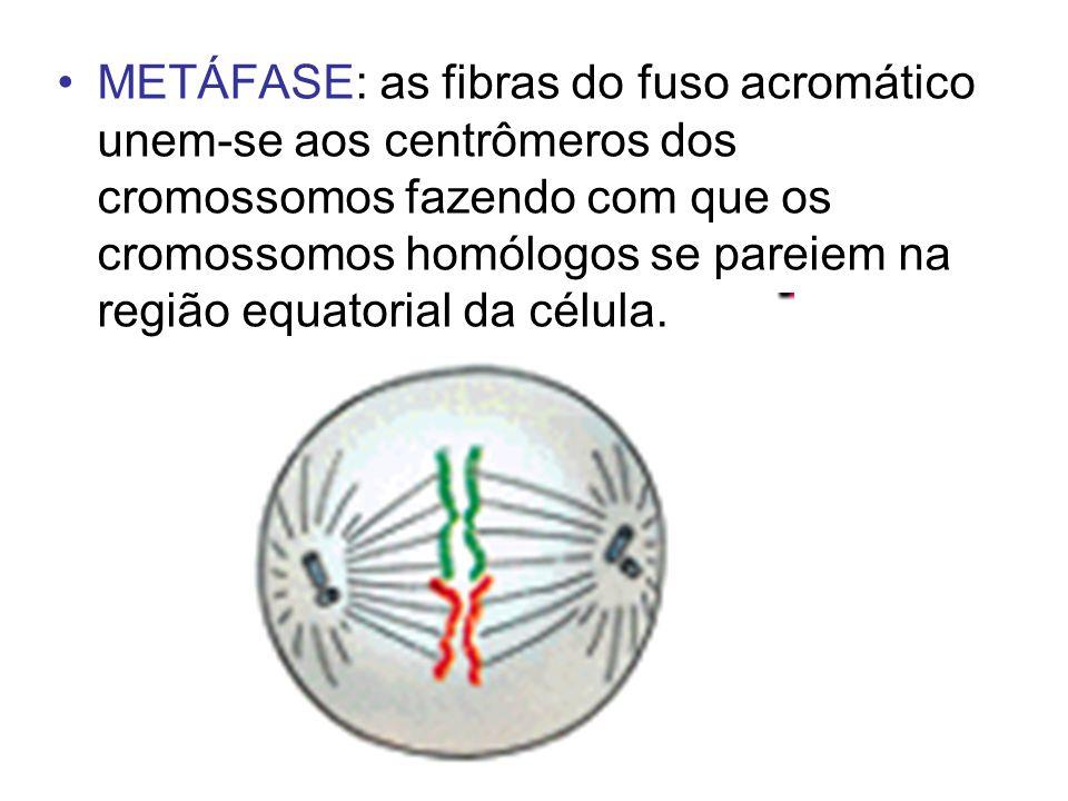 METÁFASE: as fibras do fuso acromático unem-se aos centrômeros dos cromossomos fazendo com que os cromossomos homólogos se pareiem na região equatorial da célula.