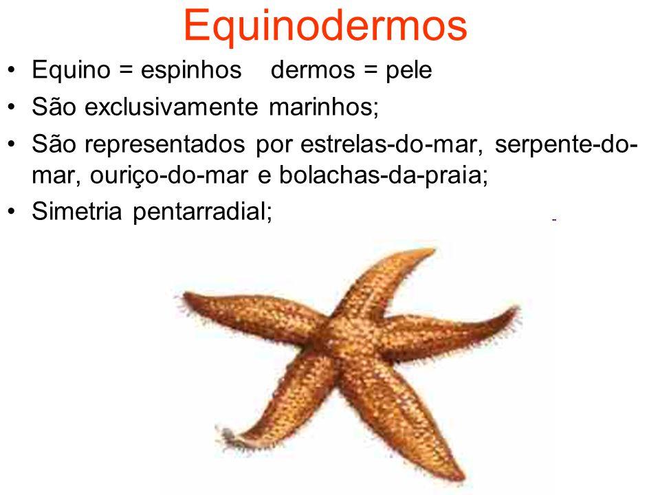 Equinodermos Equino = espinhos dermos = pele