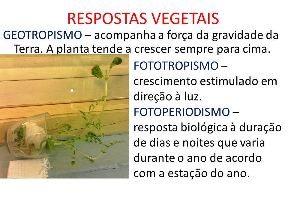 RESPOSTAS VEGETAIS GEOTROPISMO – acompanha a força da gravidade da Terra. A planta tende a crescer sempre para cima.