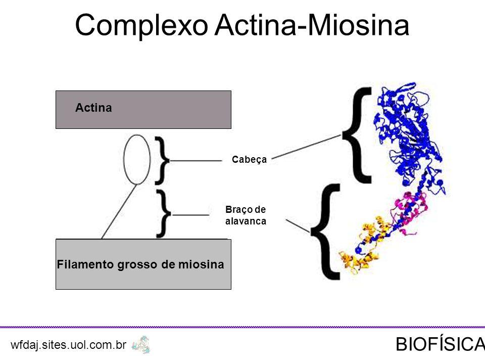 Complexo Actina-Miosina