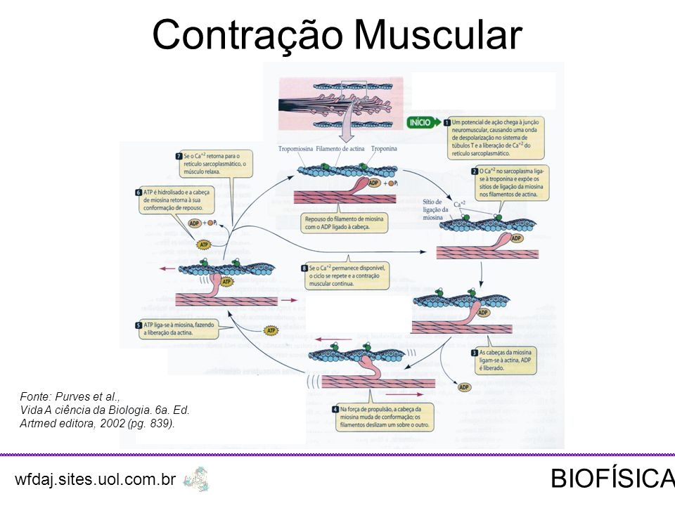 Contração Muscular BIOFÍSICA wfdaj.sites.uol.com.br