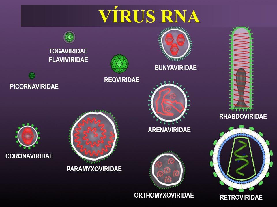 VÍRUS RNA TOGAVIRIDAE FLAVIVIRIDAE BUNYAVIRIDAE REOVIRIDAE
