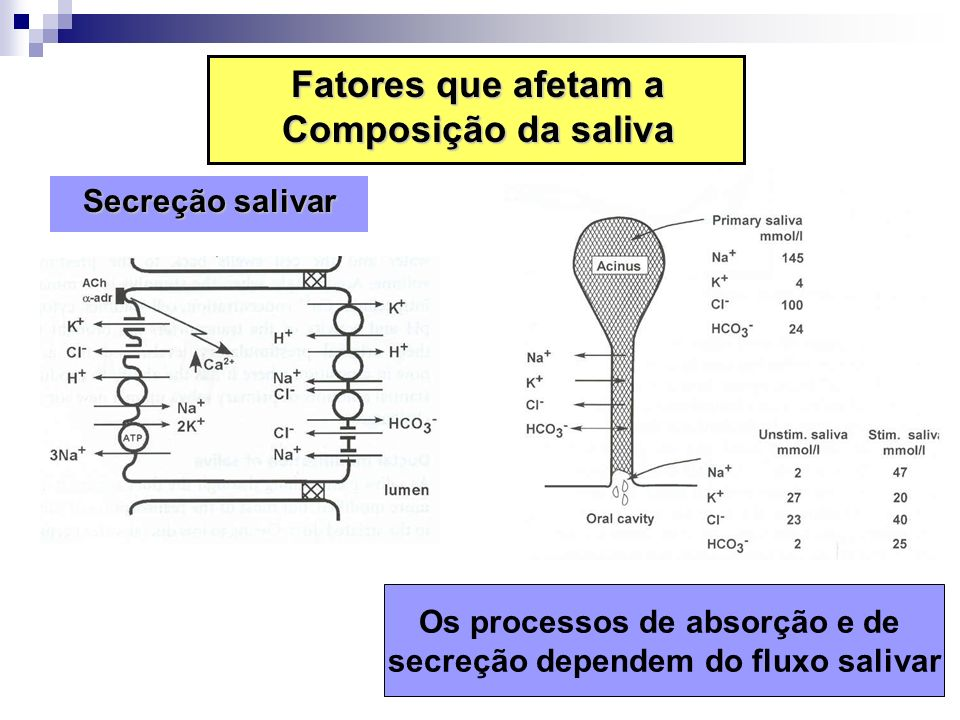 Os processos de absorção e de secreção dependem do fluxo salivar