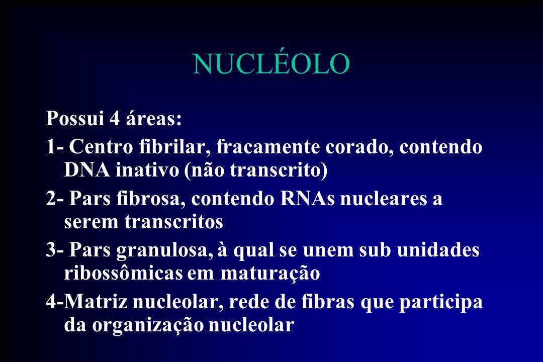 NUCLÉOLO Possui 4 áreas: