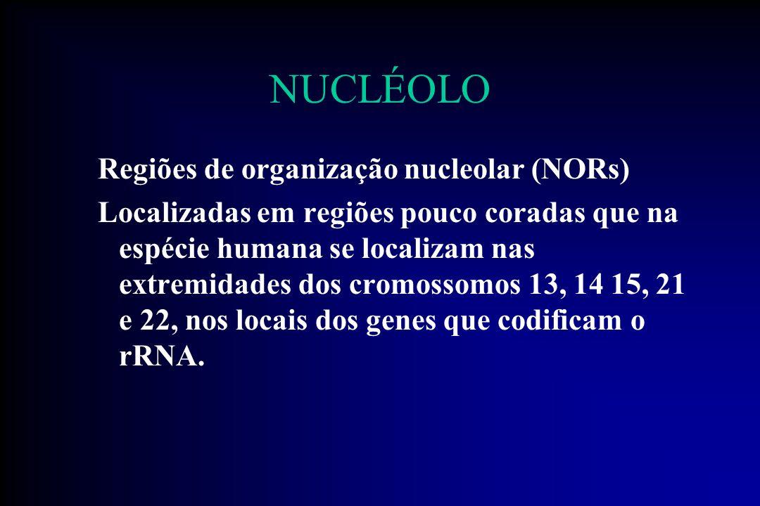 NUCLÉOLO Regiões de organização nucleolar (NORs)