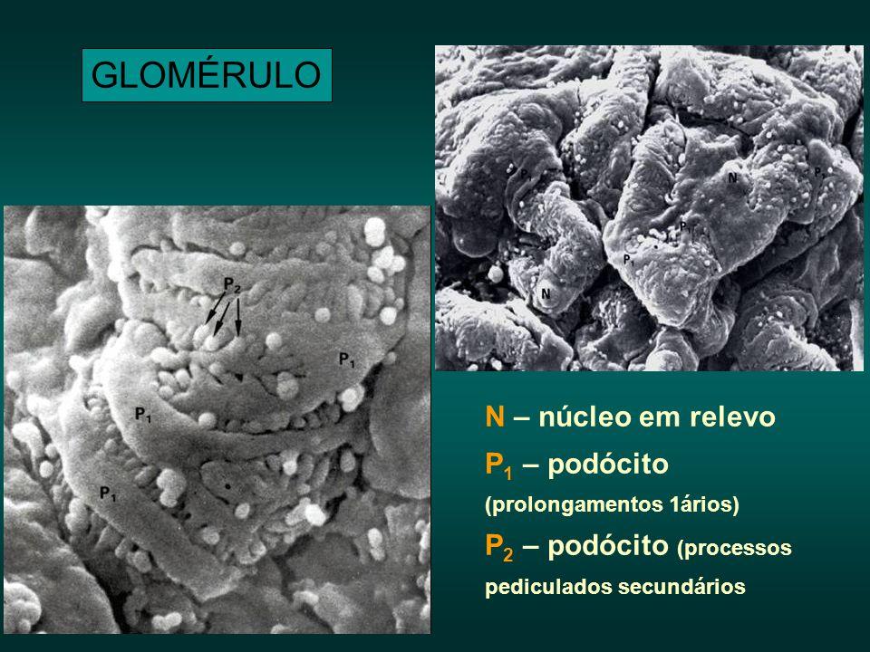 GLOMÉRULO N – núcleo em relevo P1 – podócito (prolongamentos 1ários)