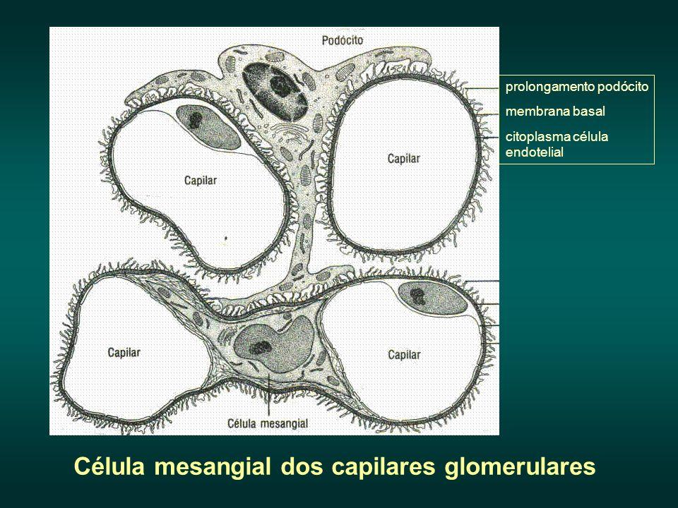 Célula mesangial dos capilares glomerulares
